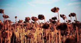 Field ripe dried sunflowers harvest 4k POV high speed video. Mature heads seeds Footage