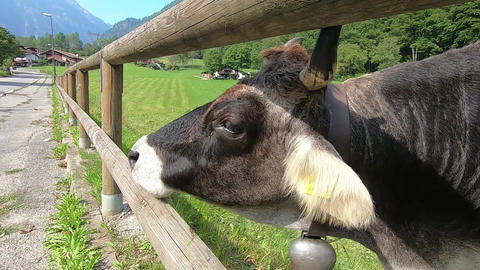 Exhilarating shot of a curious cow that puts its nose between the wooden fence to attach the lens of Acción en vivo