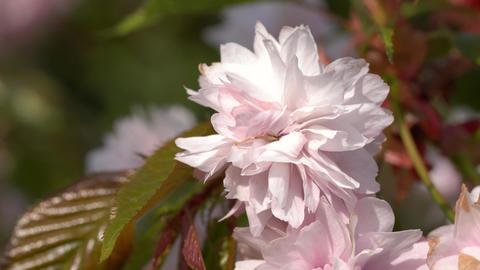 Hill Cherry, Kiku-shidare-zakura, Prunus serrulata Live Action