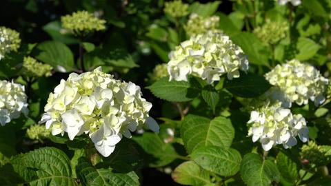 Penny mac (Hydrangea macrophylla), flowers of summer Live Action