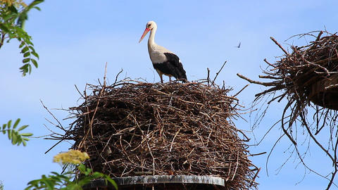 White Stork on the Nest Footage