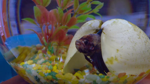 Betta fish in aquarium Footage