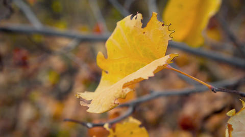 Yellow maple leaf on a tree. Fall. The movement of the camera around the sheet ライブ動画