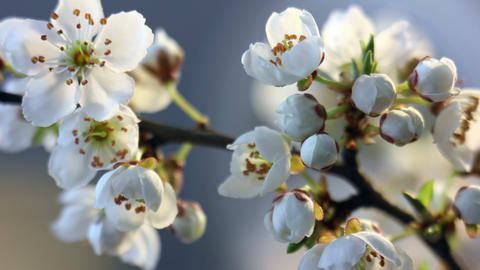 Spring flowers opening. Beautiful Spring plum tree blossom open timelapse Live Action