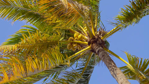 Coconut palm tree with a ripe bunch of coconuts Live Action