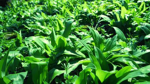 Carpet of wild herb garlic broad or leaved garlic or bear leek garlick. Popular and healthy edible Live Action