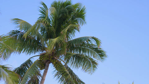 Bottom view of a coconut tree against a blue sky Live Action