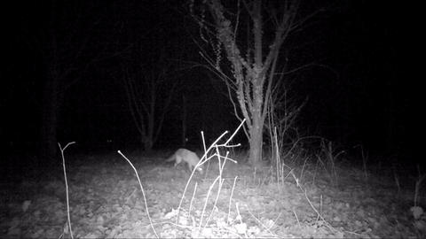 Fox in the night smells the ground while hunting Live Action