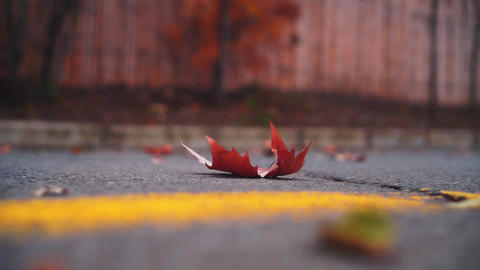 Closeup of a dry yellow maple leaf on an asphalt road with a yellow stripe. The Live Action