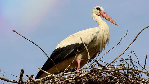 Closeup of White Stork in Nest Footage