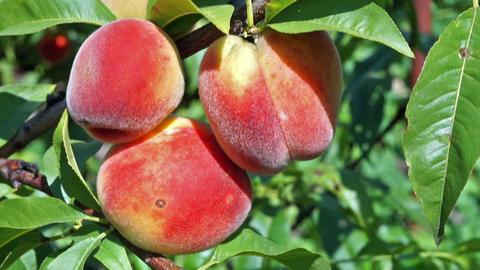 Close up peach Footage