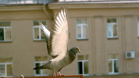 Flying pigeon, super slow motion Footage