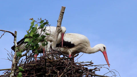Couple of White Storks in the Nest Footage