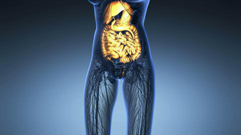 science anatomy of woman body with glow digestive system in blue Animation