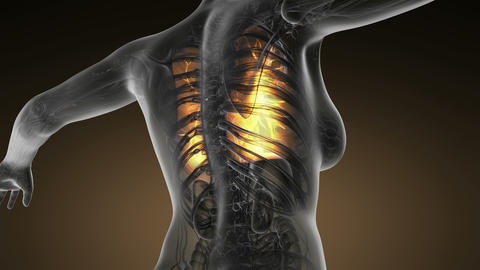 loop science anatomy of human body in x-ray with glow lungs Animation