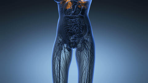 science anatomy of woman body with glow lungs in blue Animation