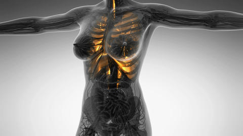science anatomy of human body in x-ray with glow lungs Animation