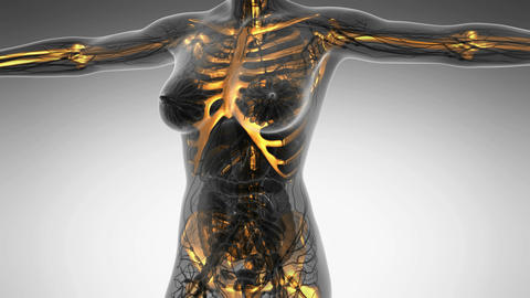 science anatomy of human body in x-ray with glow skeleton bones Animation
