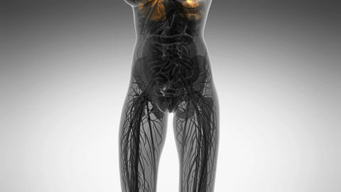 science anatomy of woman body with glow lungs in white Animation