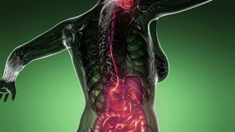 loop science anatomy scan of human digestive system glowing Animation