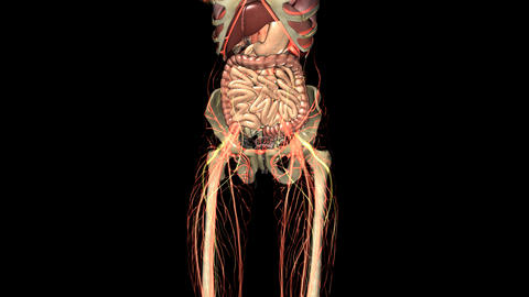 science anatomy scan of human body organs and bones. PNG with Alpha Animation