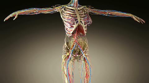 science footage of full body anatomy Animation
