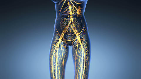 science anatomy of human body in x-ray with glow blood vessels on blue Animation