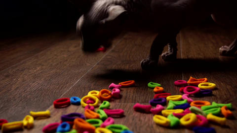 The cat plays with a hair band, bites it and chews it Live Action