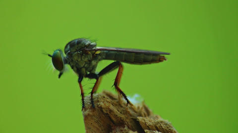Robber Fly Assassin Fly Insect Footage Macro Live Action