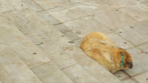 Hungry mixed-breed stray dogs sleeping in street. Biting and disease danger Live Action