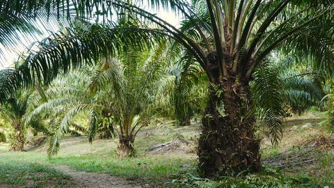 Oil Palm Plantation Live Action