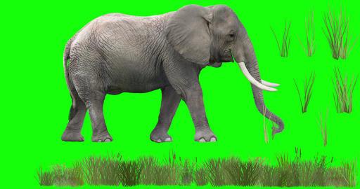 African Elephant Grazing CG動画