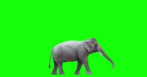 Asian Elephant Spraying Water Animation