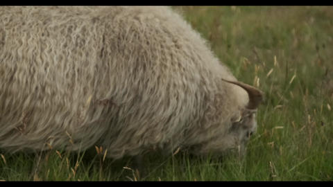 A sheep grazing on top of a grass covered field Live Action