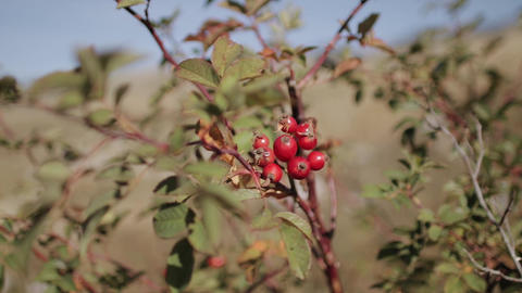 Fruits of red rosehip with a rat-plan camera movement Live Action