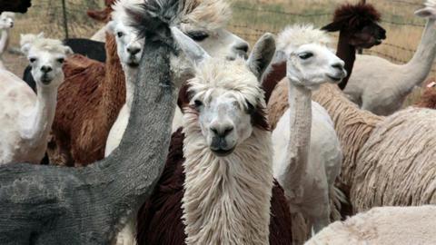 Alpaca herd after shearing farm ranch Utah HD 2626 Footage