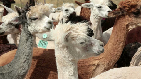 Alpaca herd livestock farm ranch HD 2622 Footage