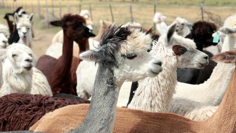 Alpaca livestock farm ranch in Utah HD 2620 Footage
