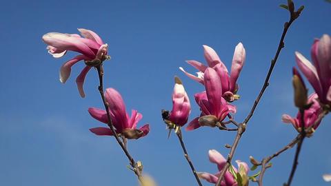 Magnolia Footage