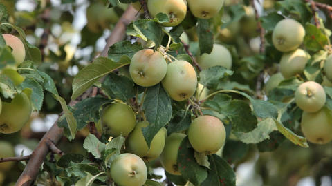 Apples in the breeze P HD 2054 Footage