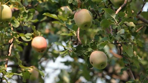 Apples yellow on tree P HD 2058 Footage