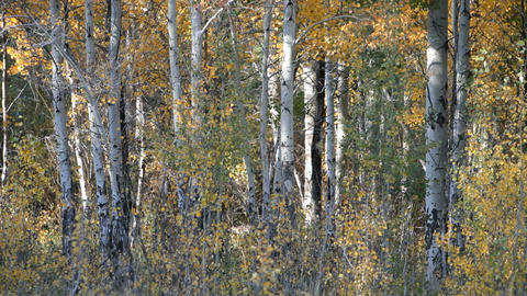 Aspen trees autum P HD 3316 Footage