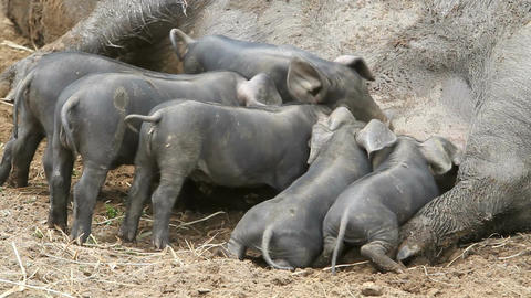 Baby pigs feeding close P HD 1095 Live Action