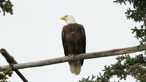 Bald Eagle perch P HD 1388 Footage