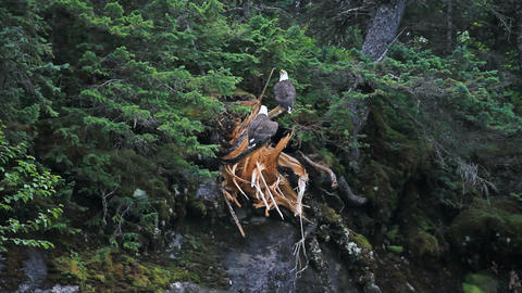 Bald eagles high on mountain tree P HD 7424 Footage