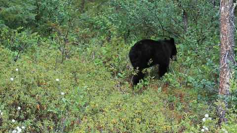 Bear black walking forest Alaskan forest mountain P HD 1302 Live Action