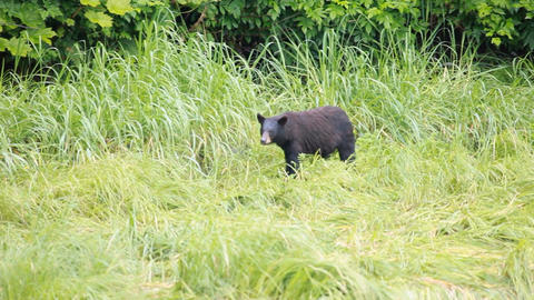 Bear forest meadow P HD 8686 Live Action