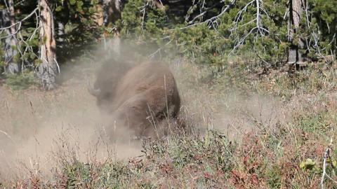 Bison buffalo rolling in dust P HD 2435 Footage