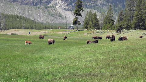 Bison herd Yellowstone meadow tourists watching 4K Footage