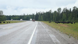 Bison on Alaska Highway Canada P HD 7690 Footage